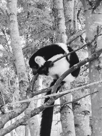 sad lemur